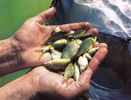 رها سازی ۵۰۰۰ قطعه بچه ماهی در سد رودبال استهبان