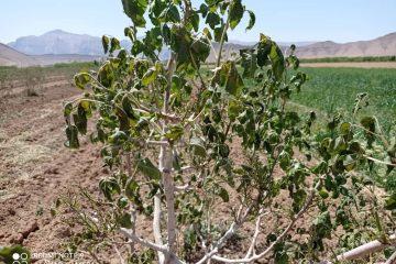 خسارت ۱۲۱۰ میلیارد ریالی به باغات و زراعت استهبان