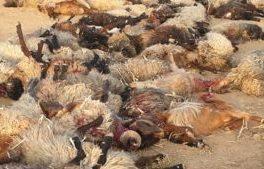 تلف شدن ۹۱ رأس گوسفند گله ای در استهبان