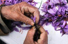 جداسازی کلاله یا پرکردن گل زعفران با رعایت پروتکل های بهداشتی قابل انجام است.